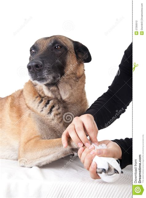 paw bandage a paw bandage aid for a stock photography image 27350512
