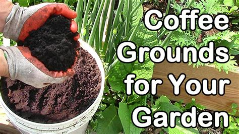 How To Use Coffee Grounds In The Garden by How Much Coffee Do We Use In The Garden Coffee Grounds