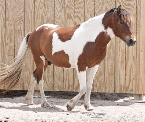 white pattern in horses tobiano wikipedia
