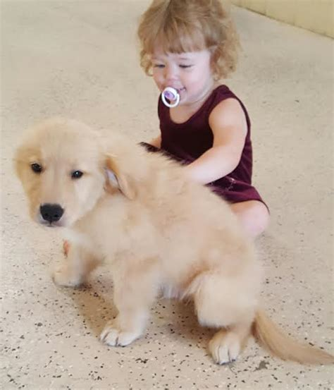 best leash for golden retriever puppy how to your to walk on a leash golden retriever breeds picture