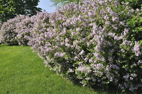 lilac tree lilac tree vs lilac bush difference between lilac trees