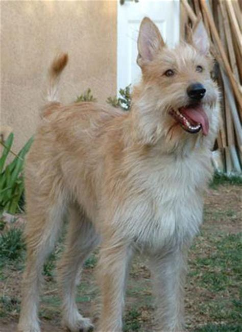 berger picard puppies for sale berger picard breed