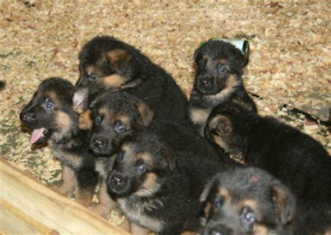 5 week puppy 5 weeks whiski x zam puppies vom vrban haus german shepherds