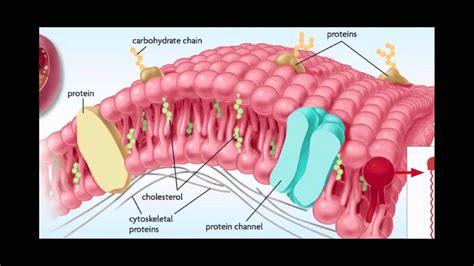 cell membranes ligands receptors  phospholipids
