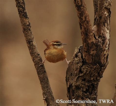 tennessee watchable wildlife carolina wren habitat