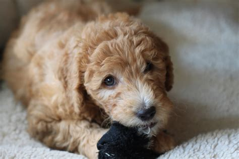 mini goldendoodles rochester ny goldendoodle puppies for sale blue collar boy major