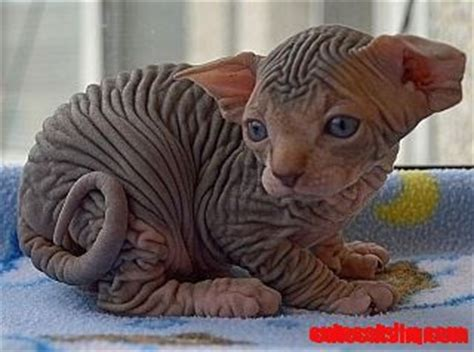 Baby sphinx kitty   Cute cats HQ   Pictures of cute cats