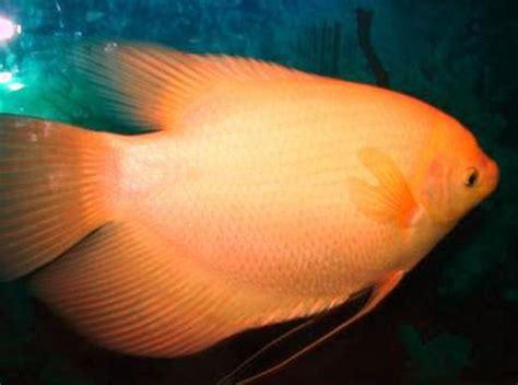 Bibit Wader jenis ikan hias air tawar terlengkap yang mudah dipelihara