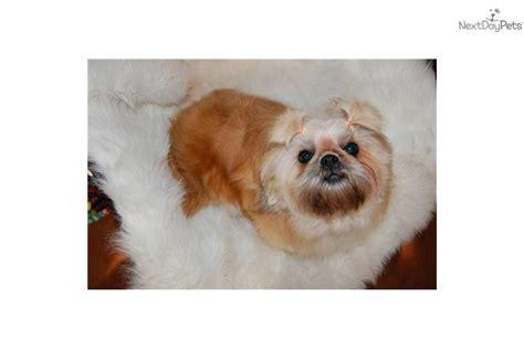 shih tzu puppies for sale 200 shih tzu for sale for 200 near fredericksburg virginia d9982417 8131