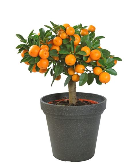 fruit you can grow indoors fruit trees you can grow indoors indoor citrus