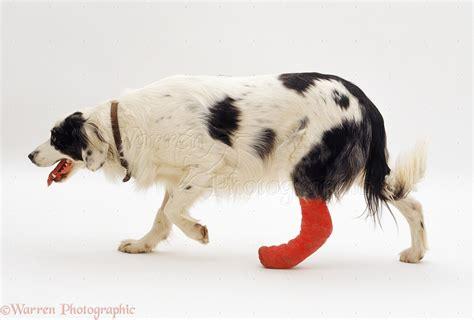 with puppy with bandaged leg photo wp08988