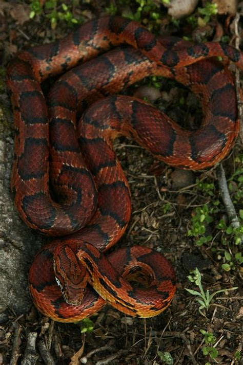 snake with zig zag pattern on back corn snake looks almost like my rosie tho her stripes