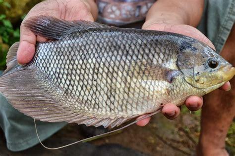 Harga Kolam Terpal Ikan Gurame mau budidaya ikan gurame baca ini supaya nggak salah