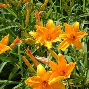 fiori gialli estivi giardini