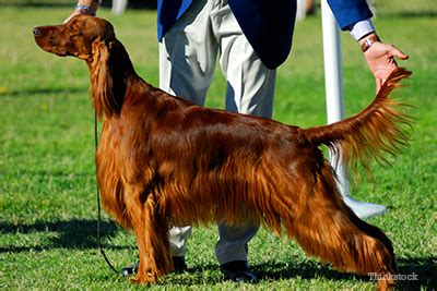 irish setter dog poisoned dogs poisoned at dog show how can you spot the signs of