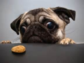 pug love food funny pug pictures