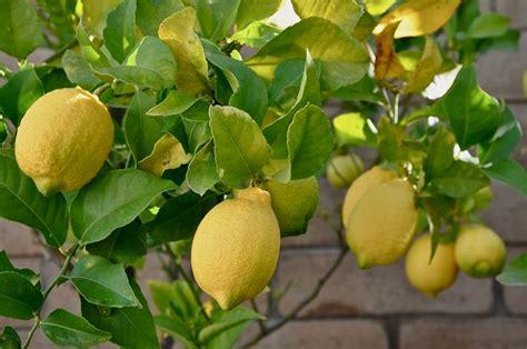 concimare limoni in vaso concime per limoni domande e risposte orto e frutta