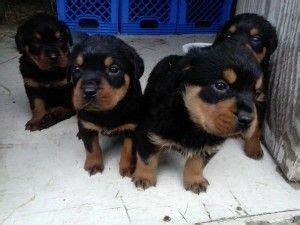 rottweiler for sale in arkansas chere rottweilers rottweiler puppies for sale in arkansas rottweiler