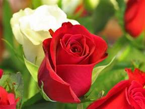 amazing red roses love wallpapers and backgrounds amazing information