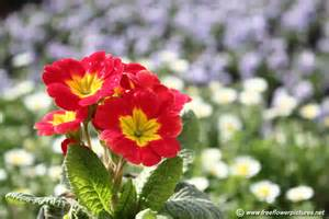 red primula flower picture flower pictures 5552