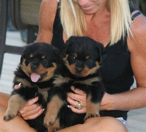rottweiler puppies 5 weeks rottweiler articles the zygomatic arch and muzzle correlation of the rottweiler