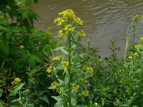 November Flower toronto wildlife more wormseed mustard