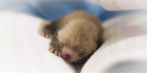 Baby Panda One i for one welcome our newborn panda overlords mnn
