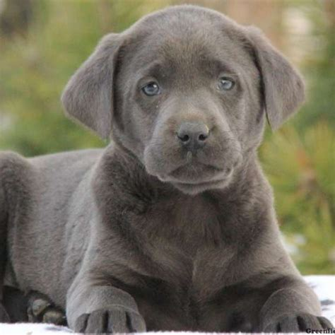 lab puppies charcoal labrador retriever puppies for sale greenfield puppies