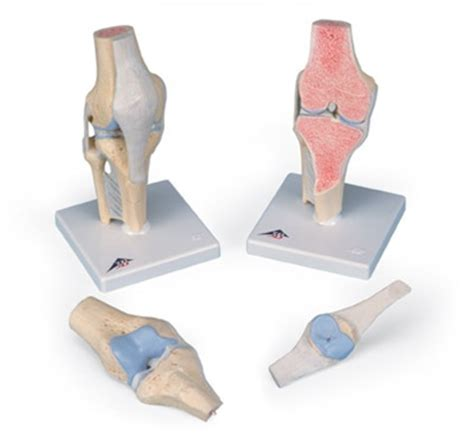 sectional view of the knee joint sectional knee joint model 3 part anatomy models and