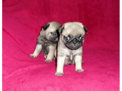 pug pedigree pug machinho pedigree cbkc clasf