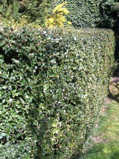 Olive Garden Woodland by Corylus Maxima Purpurea Heronswood 5 97 Jpg 655 215 987
