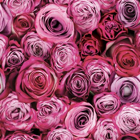 pink wallpaper b q graham brown fresco pink roses wallpaper departments