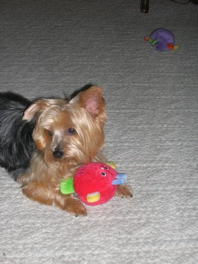 my yorkie is throwing up and has diarrhea keeping pets hydrated thriftyfun