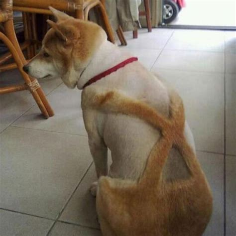 10 dog haircuts gone wrong dog haircuts gone really wrong suspenders for the win