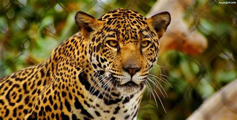 10 Amazing Big Cats   Listverse