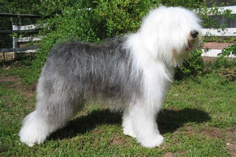 sheepdog puppies for sale olde sheepdog puppies for sale from reputable breeders