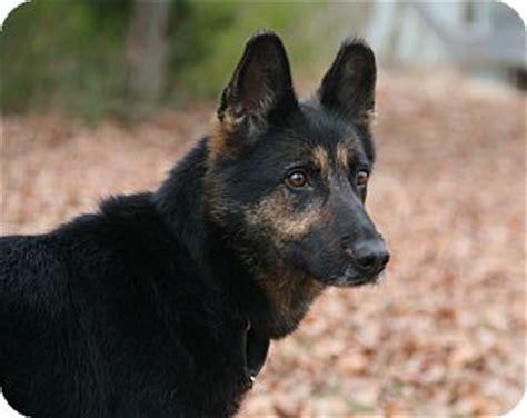 german shepherd puppies nashville tn chacha adopted nashville tn german shepherd