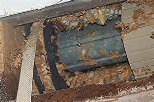 hornissennest im haus hornissenumsiedlung