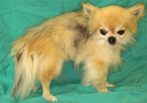 pomeranian alopecia x skin alopecia x from vetstream definitive veterinary intelligence
