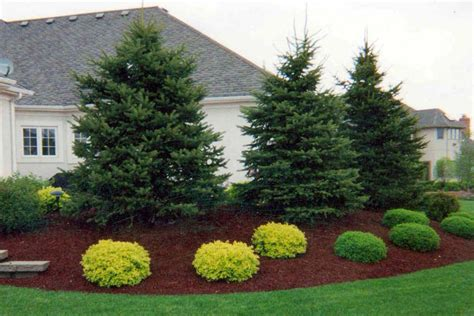 beautiful landscaping with evergreens small evergreen