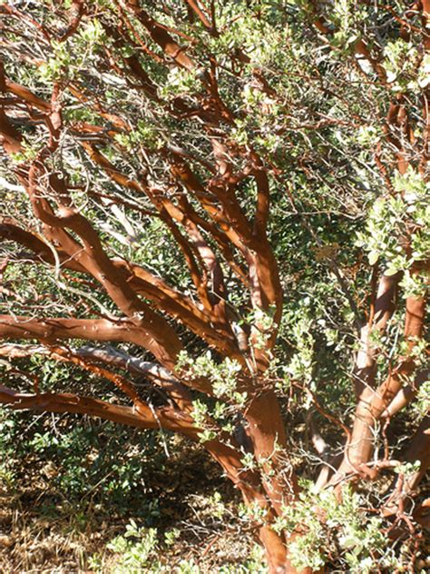 What Tree Sheds Its Bark by Manzanita Tree Shedding Its Bark Flickr Photo