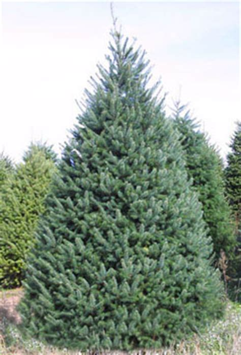 images different types of christmas trees ruff s trees