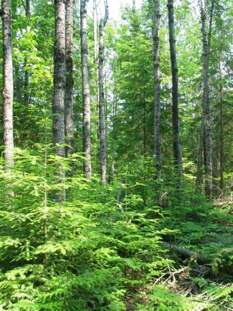 aspen fir aspen fir forests alpena nature preserve