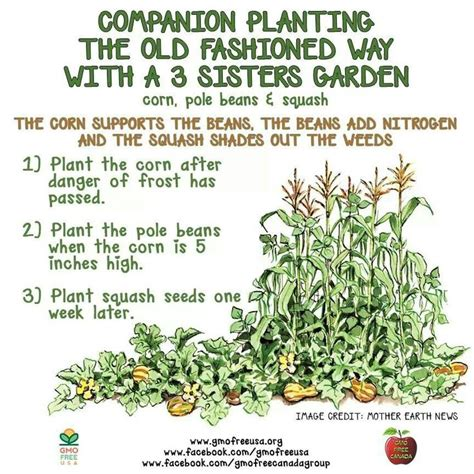 Companion Planting Vegetable Garden Layout Three Companion Planting Corn Beans Squash