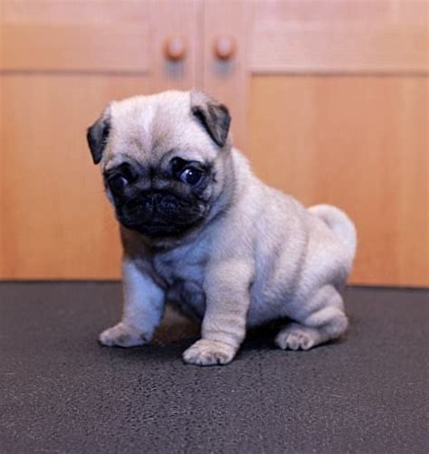 uggly pug 17 best ideas about pug puppies on pug puppies pugs and pugs