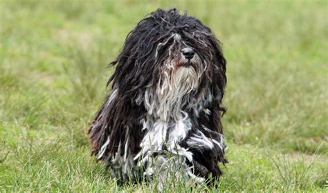 what is the lifespan of a havanese havanese