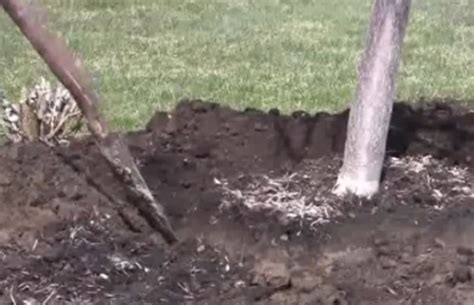 transplanting a maple tree transplanting japanese maple trees in 3 easy steps