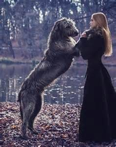 1000 ideas about irish wolfhound dogs on pinterest irish wolfhounds
