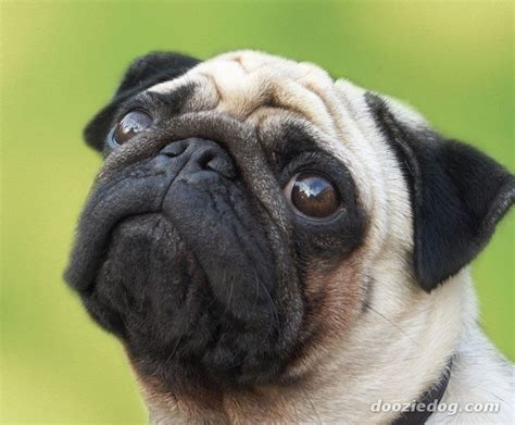 pug breed information pug dogs pug breed info pictures petmd upcomingcarshq
