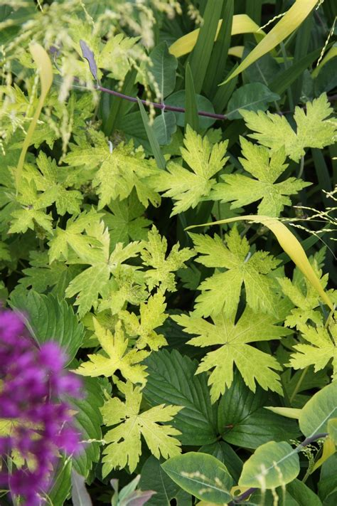 variegated foliage plants perennials variegated and coloured foliage plants